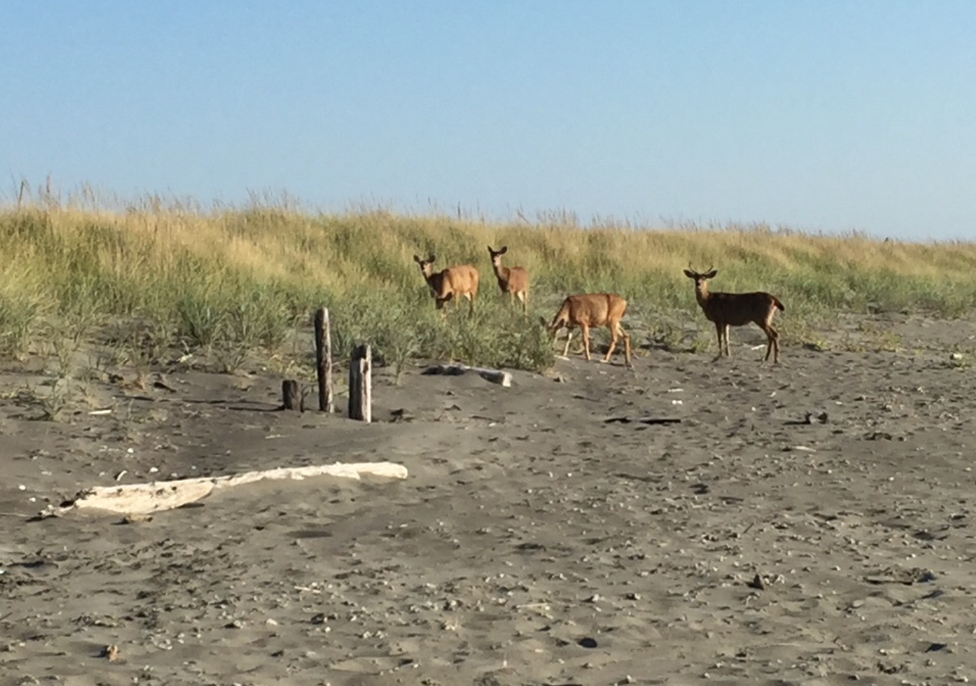 DEER ON THE BEACH AT OS